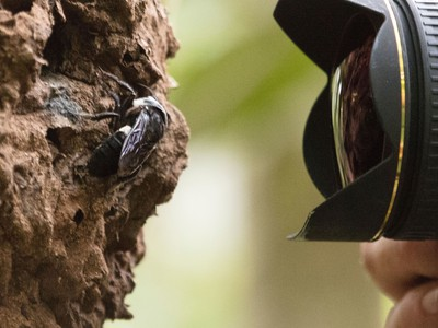 World's Largest Bee Is Spotted For 1st Time In Decades