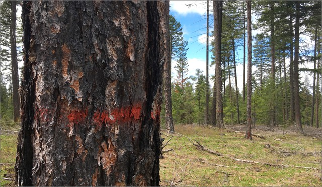 A recently treated forest in Oregon's Blue Mountains shows where the tribes have marked and left the best trees, and thinned the understory of younger and sick trees.