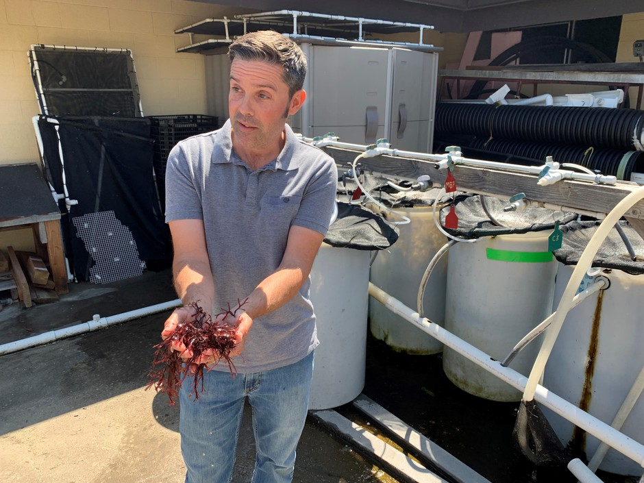 OSU research associate Matt Hawkyard offered visitors tastes of fresh dulse at the Hatfield Marine Science Center on Monday.