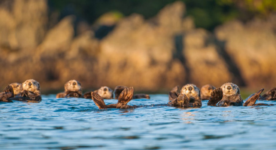 Sea otters off the west coast of Vancouver Island.