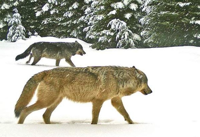 Two adult wolves from the Walla Walla Pack were caught on a remote trail camera Jan. 16, 2016, in Umatilla County, Oregon. Extreme weather in northeast Oregon this winter has disrupted surveys of area wolfpacks.