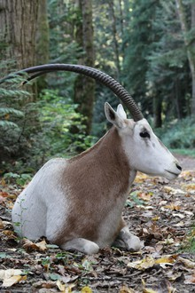 A male scimitar-horned oryx named Yellow Nose escaped through an open gate and roamed Forest Park on Oct. 24, 2015. The animal's owner, Reed Gleason, captured Yellow Nose and took him home.