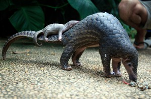 In this Thursday, June 19, 2014 file photo, a pangolin carries its baby at a Bali zoo in Bali, Indonesia.