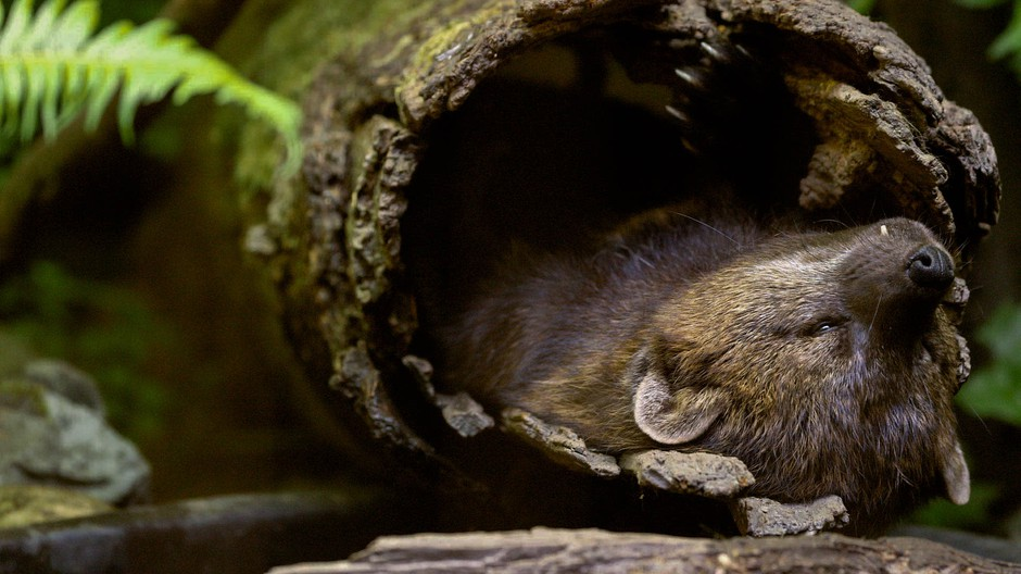 Fishers are rare in the United States but the federal government has not chosen to include them on its list of animals that receive special protection under the Endangered Species Act.