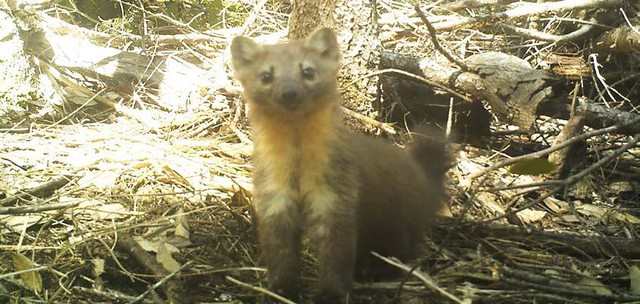Humboldt martens are relatives of minks and otters that live in old-growth forests along the coast of Southern Oregon and Northern California.