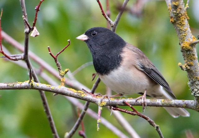 Dark-eyed junco. It's one of the many birds counted in the 2014 Great Backyard Bird Count.