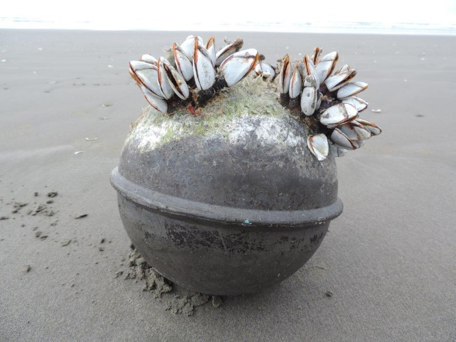 Marine organisms like these gooseneck barnacles are crossing the Pacific Ocean to North America by hitching rides onfloating debris composed of man-made materials — mostly plastic.