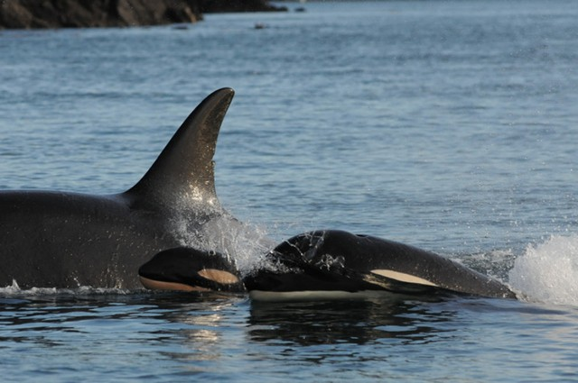 Two of the Puget Sound orcas, J28 and J54 swimming with a third unidentified killer whale.