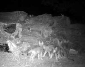 Trail camera footage from theConfederated Tribes of Warm Springs shows six wolf pups.