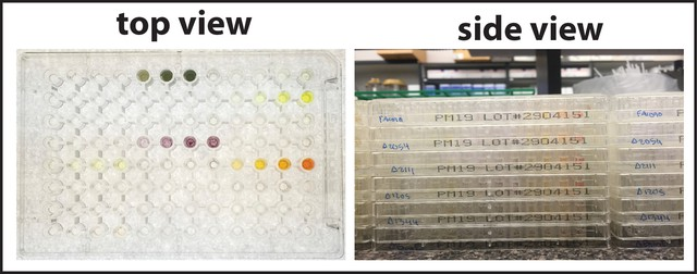 The OSU team checked the function of proteins using phenotypic microarrays — a high-throughput system featuring plates with 96 wells per plate, each well representing a different culture condition for the proteins.