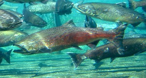 Adult fall Chinook salmon in the Priest Rapids Hatchery.