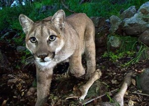 Problem encounters with cougars have increased in Oregon's Willamette Valley.