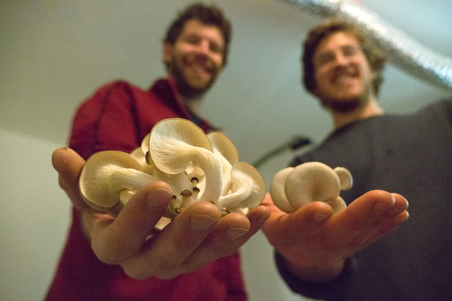 Ryan Bubriski and Will Fortini of the Portland Mushroom Company hold clusters of just-picked oyster mushrooms, grown in the basement of their rental house in Sellwood-Moreland and sold to restaurant chefs and at farmers markets for up to $10 a pound.