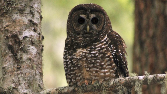 In one of several big picture debates about endangered species, some say species like the spotted owl get a disproportionate share of conservation funding. The federal Endangered Species Act was enacted 40 years ago.