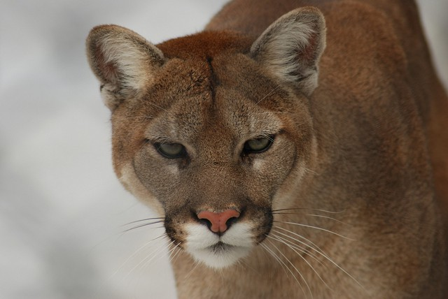 Cougars, or mountain lions, are common but elusive predators in Oregon.
