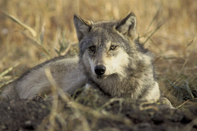File photo of a gray wolf. California has delayed its decision on whether to list gray wolves as an endangered species.