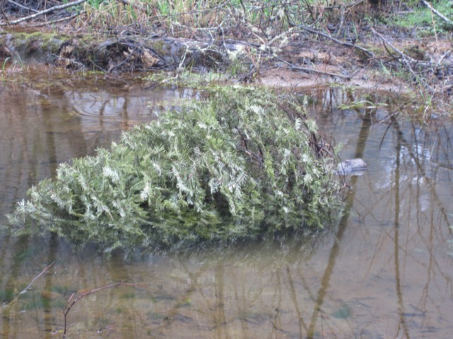 When submerged in a coastal stream, an old Christmas tree offers young salmon protection from predators and new potential food sources.