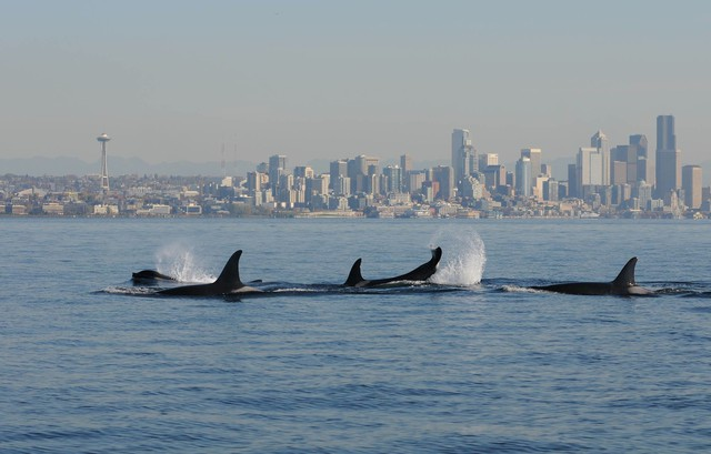 A file photo of orcas in Puget Sound with Seattle in the background.