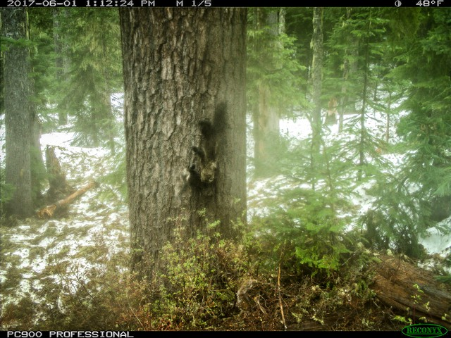 A trail camera photo shows the first evidence of a fisher born in the South Cascades since these weasel-like carnivores were reintroduced to the area in 2015-16.