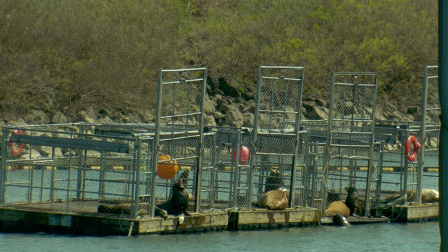 Sea lions haul out of the water onto trap platforms at Bonneville dam.