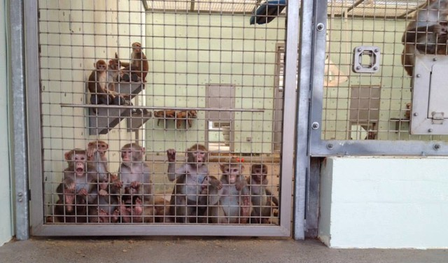 Rhesus macaques at Oregon Health and Science University's Oregon National Primate Research Center.