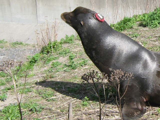 Biologists glued an accelerometer tag to the head of a sea lion in an attempt to track its body motions.