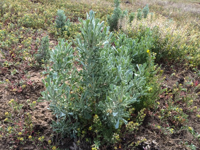 Sagebrush grows from a seedpod in an outdoor planting test.