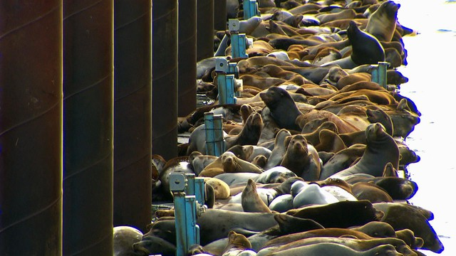 A record number of sea lions estimated at more than 2500 smothered the docks in Astoria in the spring of 2015.
