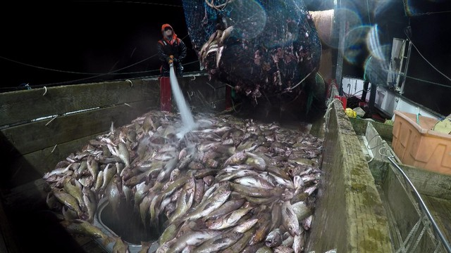 Groundfish trawlers will soon be allowed to catch more fish as depleted populations recover from overfishing.