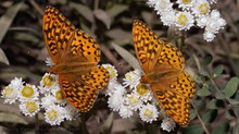 Two Fritillaries feed on pearly everlasting at High Prairie, Mt. Hood National Forest, Oregon.