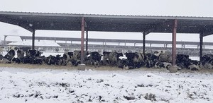 Cows rest comfortably at Jason Sheehan's dairy near Sunnyside, Wash., on Feb. 11. Blizzard conditions Feb. 9 caused the deaths of more than 1,800 dairy cows in the area.