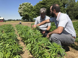 In this Thursday, June 13, 2019, photo, Jay Noller, director and lead researcher for Oregon State University's newly formed Global Hemp Innovation Center, left, inspects young hemp plants with Lloyd Nackley, a plant ecologist with the Oregon State University Extension Service, at one of the university's hemp research stations in Aurora, Ore.