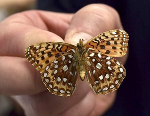 Kim McEuen holds up an Oregon Silverspot butterfly in a lab at the Oregon Zoo. The conservation lab raised caterpillars that were released at Saddle Mountain.