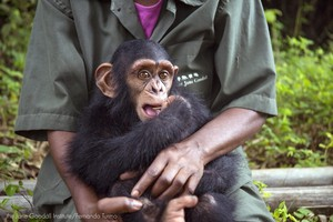 InfantGeorge, victim of the illegal pet trade, arrived at Tchimpounga in November 2017. With around-the-clock care, he is overcoming his early traumas. A produce-rich diet for 24 chimps costs $100 a day, and targeted donations– like the Portland girls'$10,000 – areunusual.
