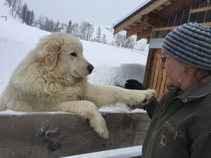 Katie Haven plays with one of her sheep dogs, Alfred. The two dogs on her farm protect a flock of 40 sheep from predators.
