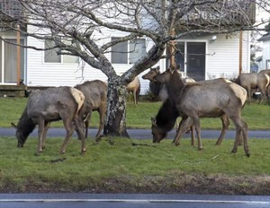 An elk herd moving through Hammond came close to roads, causing several vehicles to slow down.