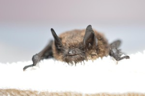 Officials confirmed this brown bat found in King County, Washington, contracted white-nose-syndrome.