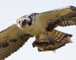 An osprey flies with a fish in its grasp. The bird of prey may become Oregon's new state bird.