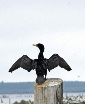 Double-crested cormorants like this one spread their wings in the sun to dry after getting them wet in the pursuit of small fish in the water. East Sand Island near Chinook is the location of a major colony of the birds.
