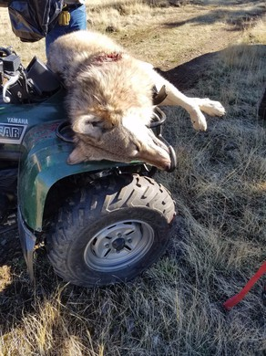 A photo released by Oregon State Police shows a gunshot wound to a wolf killed by an elk hunter in Union County, Oregon.
