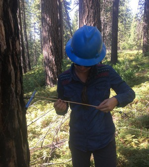 Researcher Christina Restaino collects core samples from Douglas fir trees.