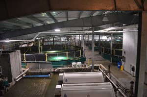 Kuterra grows Atlantic salmon in giant tanks.