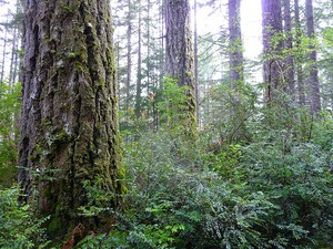 The Elliott State Forest.  Coastal old growth, like that found in the Elliott State Forest, is prime nesting habitat of the threatened marbled murrelet.