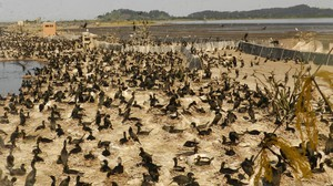 Nearly 30,000 cormorants are nesting on East Sand Island in the Columbia River and eating millions of protected salmon and steelhead.