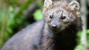 The fisher is a large, stocky, dark brown member of the weasel family, and is related to the mink, otter and marten, according to the Washington Department of Fish and Wildlife.