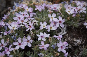 Mark Darrach has helped identify three previously unknown plants on this hillside. One is Yeti Phlox.