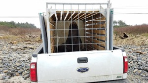 A sea lion is relocated from Willamette Falls to the Oregon coast in the back of a pickup truck.