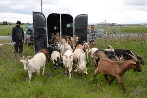 The Port of Portland hired 40 goats and a llama to take care of some thorny overgrowth on the property.