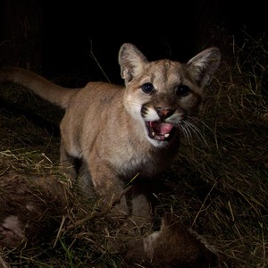 A10-month-old cougar is startled by atrail camera in the California mountains.The Oregon Department of Fish and Wildlife includes juvenile cougars in their total population estimates.