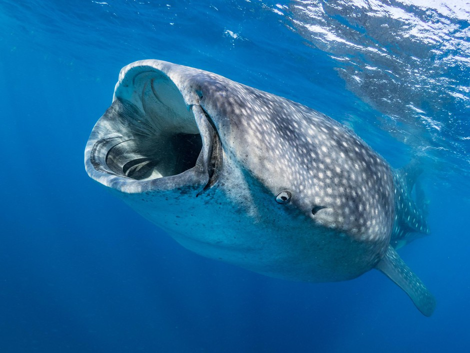A whale shark. Big data and AI allow scientists to rapidly comb through thousands of photos and identify individuals using the skin patterning behind the gills and any scars they might have.